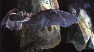 العلماء يكشفون السر وراء حمل الخفافيش للفيروسات دون التأثر بها